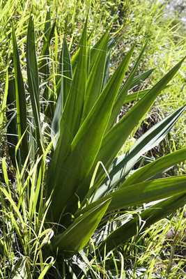 Plants and flowers to grow along the emerald coast 30a for Plante yucca exterieur